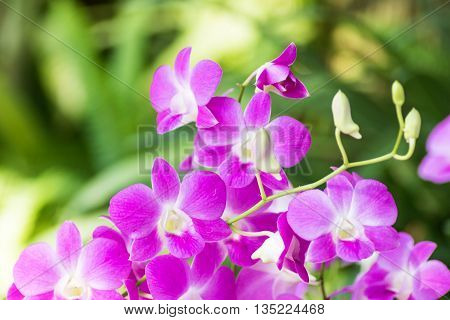 Purple Pink Orchid