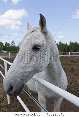 Closeup on a white and gray horse head. Summer and blue sky. Fence and forest.