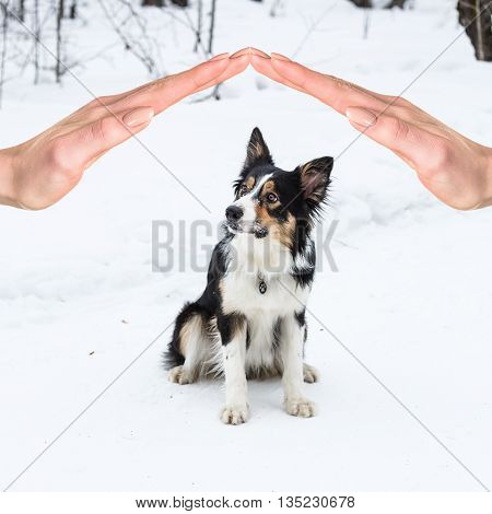 Tricolor border collie playing in winter outdoors