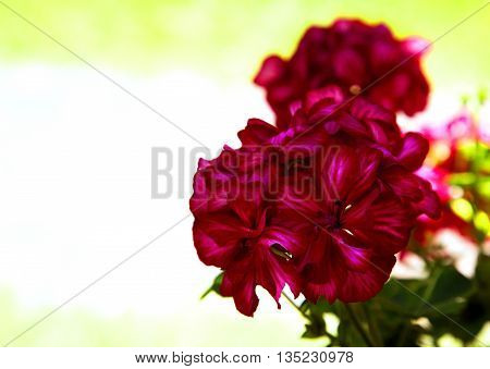 Geranium flower (Pelargonium L'Hér.) on a light background with empty space for text on the left. An interesting illustration. Horizontal view.