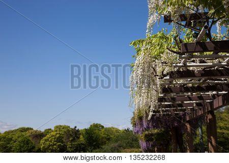 Spring flowers series. wisteria trellis in garden. in motion blur