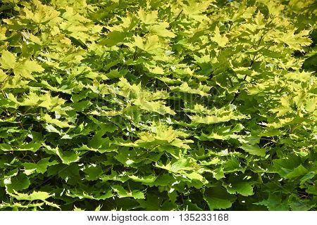 Background from young, green maple leaves. Maple leaves illuminated by the sun.