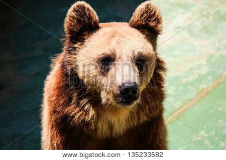 The face portrait of a brown bear