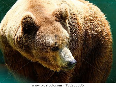 The portrait of a big brown bear