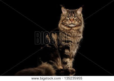 Big Maine Coon Cat Sitting with furry tail and Looking in Camera Isolated on Black Background, Front view