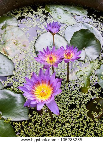 close up lotus flower in fish pond
