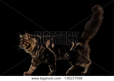 Beautiful Large Maine Coon Cat Walk with furry tail Isolated on Black Background, Side view