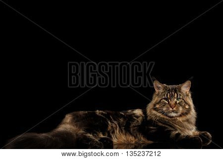 Maine Coon Cat Lying and Looking in Camera Isolated on Black Background, Side view