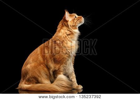 Ginger Maine Coon Cat Sitting and Curious Looking up Isolated on Black Background, Profile view