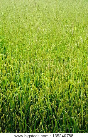 Green wheat field on a sunny day