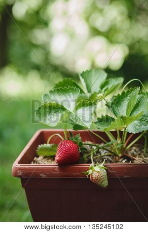 Strawberries Growing On Plant