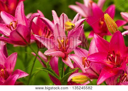 lilies. Red lily flower. lily flower natural