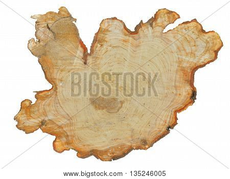 A close up of the fresh cut of an alder. Isolated on white.