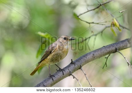 The female Redstart sitting on a branch of a plum tree in the garden bokeh and place for text