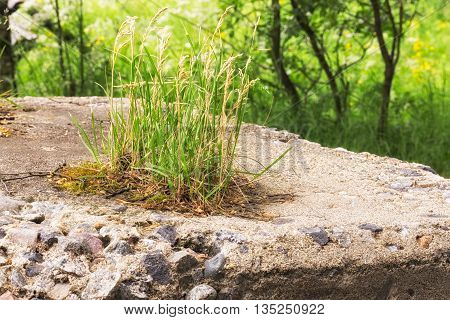 Grass Growing o Concrete with trees and vegetation in the background.