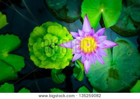 Purple Lotus flower top view in the pool has some drop water on the petal symbol of purity and Buddhism Scientific name is Nelumbo nucifera.