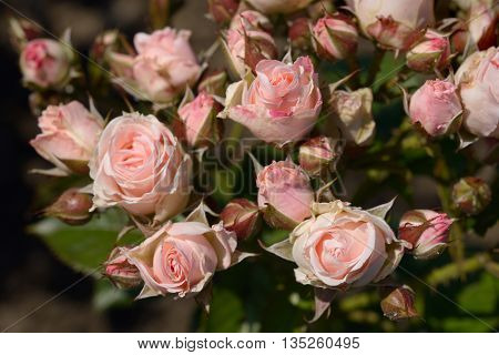Beautiful light pink roses close up in garden
