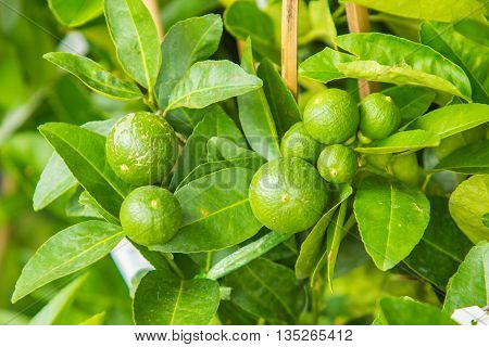 Small green raw lemon on tree with green leaf.