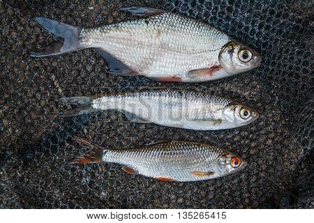 Ablet Or Bleak Fish, Roach And Bream Fish On Black Fishing Net.