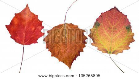 three aspen fall leaves isolated on white background