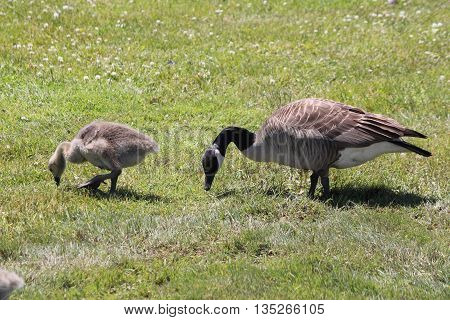 Adult Canada goose and gosling foraging for food in the grass.