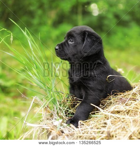 beautiful black puppy dog Labrador sitting on the hay in the summer on the nature and thinks like a philosopher