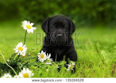 beautiful purebred black puppy dog Labrador sitting outdoors in summer with daisies