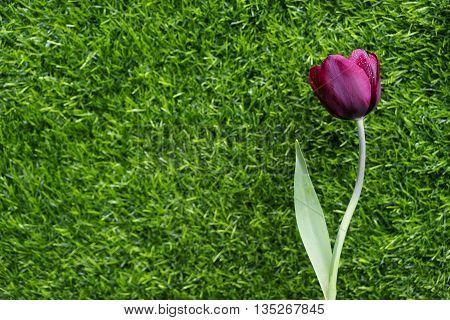 Impressive Tulip with dark purple smoky blooms.