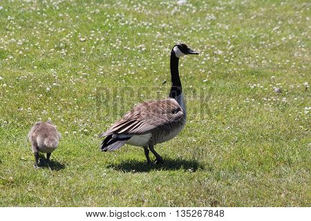Adult Canada goose and gosling walking in the grass.