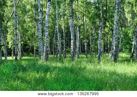 First spring greens in birch grove forest