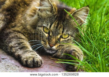 cat. Cat portrait close up only head crop. Cat in the Green Grass in Summer. relax kitten on green grass. cat on grass