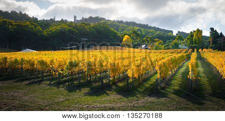 Beautiful Autumn vines in South Australia