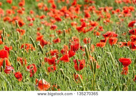 Red Corn Poppies In An Agricultural Field