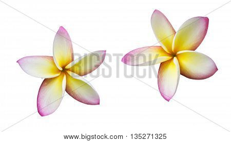 Isolated Beautiful Sweet Pink Yellow And White Flower Plumeria Or Frangipani On White Background Wit
