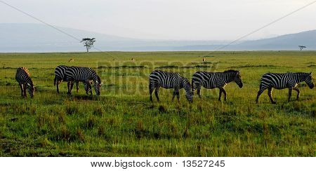 South Africa Zebra on the Grassland