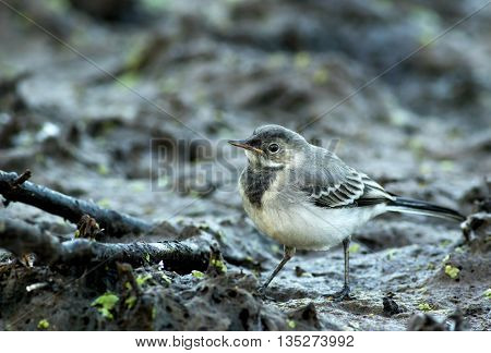 Photo close-up young Wagtail (Motacilla alba) searching for food on the muddy ground early in the morning clearly see the details of plumage beak and eye. Poland.Horizontal view.