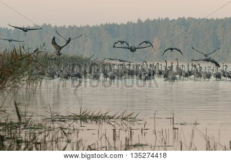 A large group of cranes (Grus grus) at the autumn meeting in September at dawn Ostrowite lake in Bory Tucholskie National Park. Light fog and some birds standing in water and some flies feeding on. horizontal view