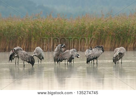 Group Cranes (Grus grus) on autumn roosting in September at dawn cleans feathers Ostrowite lake in Bory Tucholskie National Park. Birds stand in the shallow water at the reeds. horizontal view