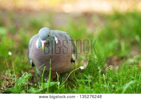 A photo close up Wood pigeon (Columba palumbus) walking on the grass with clearly visible details of plumage spring in Poland. Horizontal view with room for text on the right.