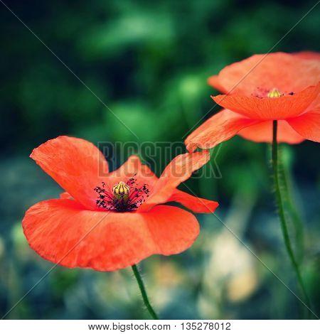 Beautiful blooming poppies close up. (Papaver rhoeas)