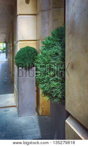 two green decorative artificial ball-shaped boxwood shrubs on urban street square flowerbed at wall and building entrance in Moscow Russia