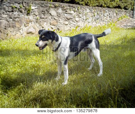 Small domestic dog, of mongrel race. Color image.