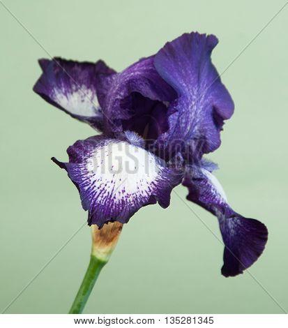 Iris Barbatus flower over light green background closeup