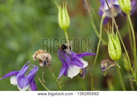 a bee collects pollen from bell on a green background