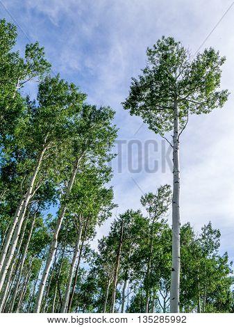 Upward View of Blue Sky Aspen Trunks & Canopy