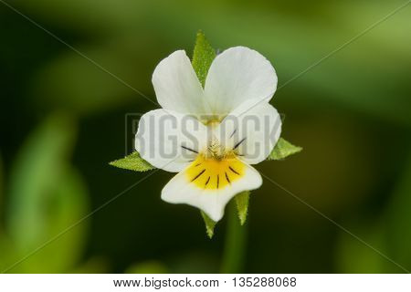Small white wildflower smaller than one centimeter