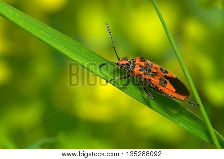 Red and black beetle on the green grass