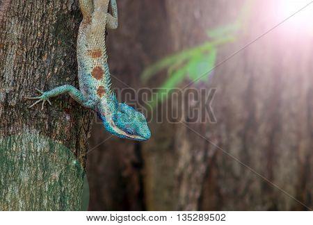 Blue head tree lizard,the local lizard of Thailan