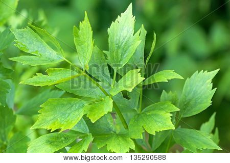 Closeup wet leaves of Lovage plant (Levisticum officinale) growing in the garden, Europe