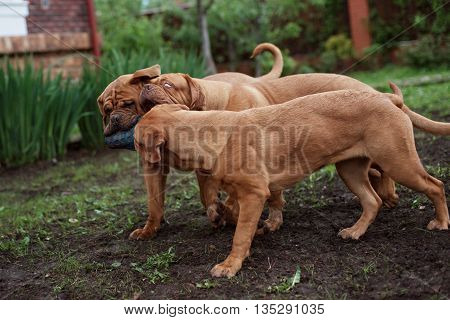 Dogue de Bordeaux dog runs on the grass in outdoor